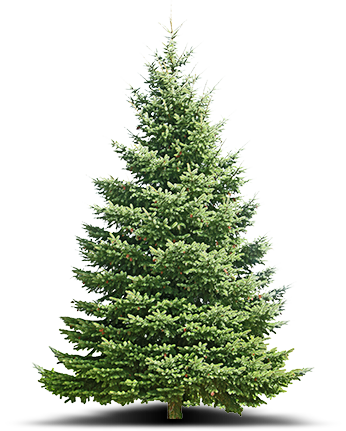 trees-canaan-fir-kentucky-christmas