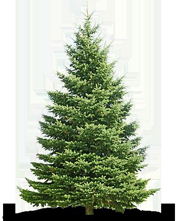 trees-canaan-fir-kentucky-christmas